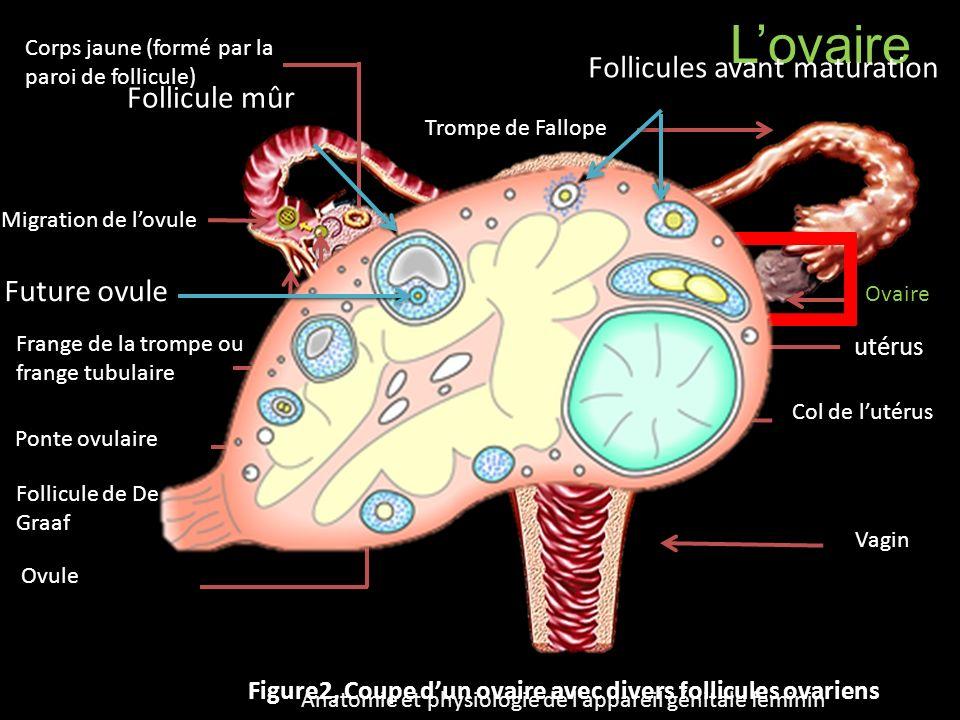 Lovaire Ovaire Col de lutérus Vagin Corps jaune (formé par la paroi de follicule) Ovule Follicule de De Graaf utérus Ponte ovulaire Migration de lovul