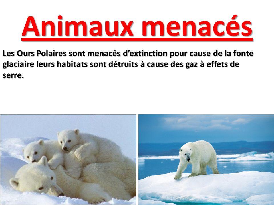 Animaux menacés Les Ours Polaires sont menacés dextinction pour cause de la fonte glaciaire leurs habitats sont détruits à cause des gaz à effets de s
