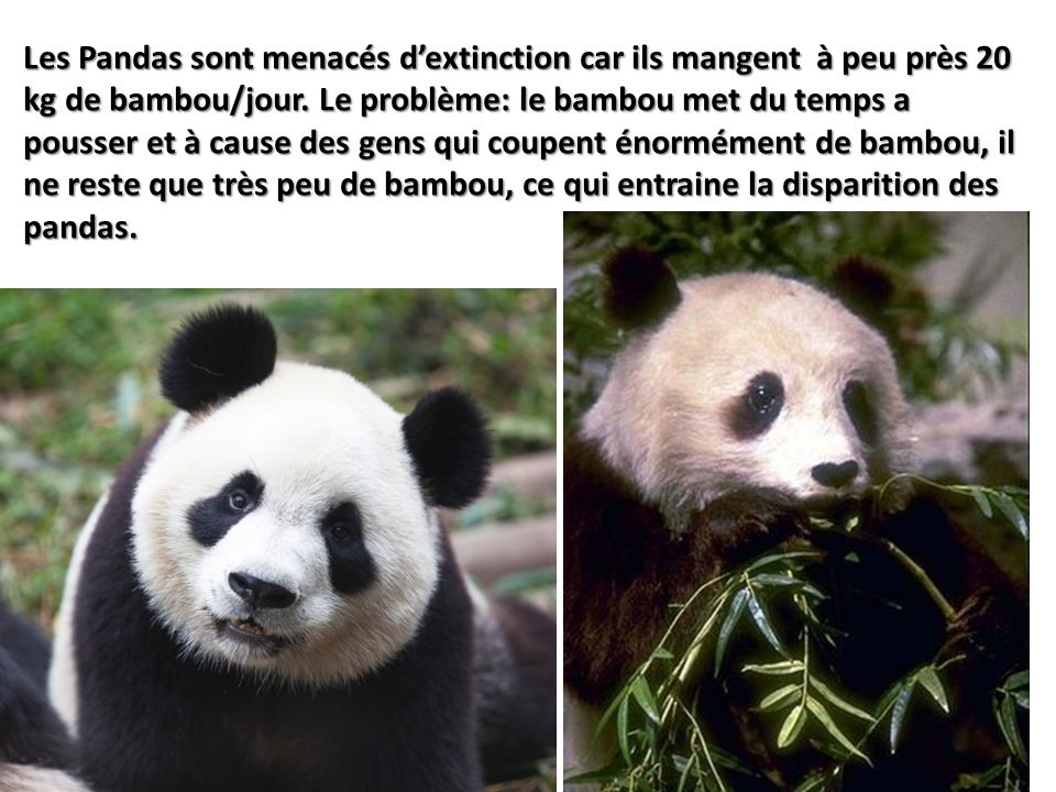 Les Pandas sont menacés dextinction car ils mangent à peu près 20 kg de bambou/jour. Le problème: le bambou met du temps a pousser et à cause des gens