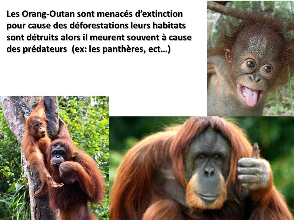 Les Orang-Outan sont menacés dextinction pour cause des déforestations leurs habitats sont détruits alors il meurent souvent à cause des prédateurs (e