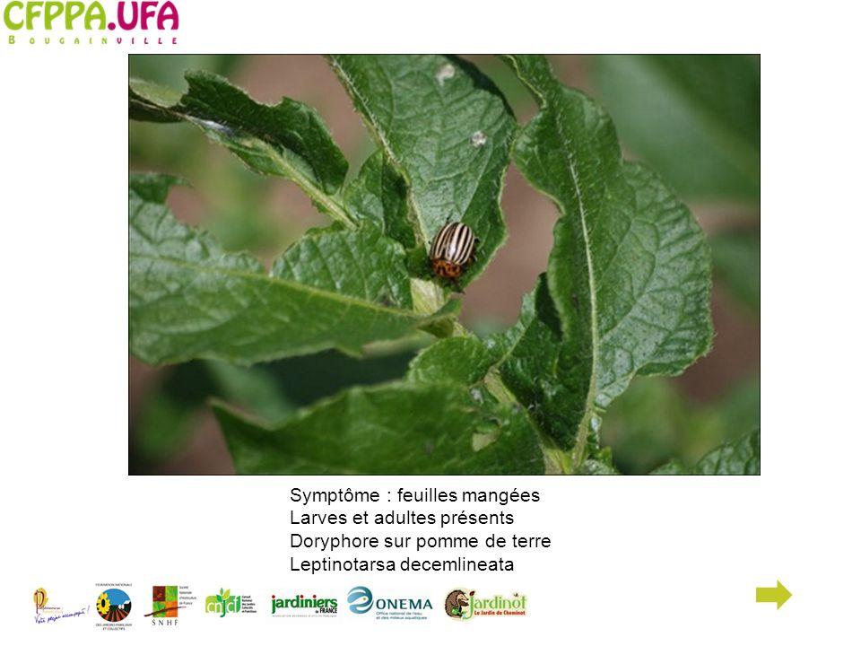 Symptôme : feuilles mangées Larves et adultes présents Doryphore sur pomme de terre Leptinotarsa decemlineata