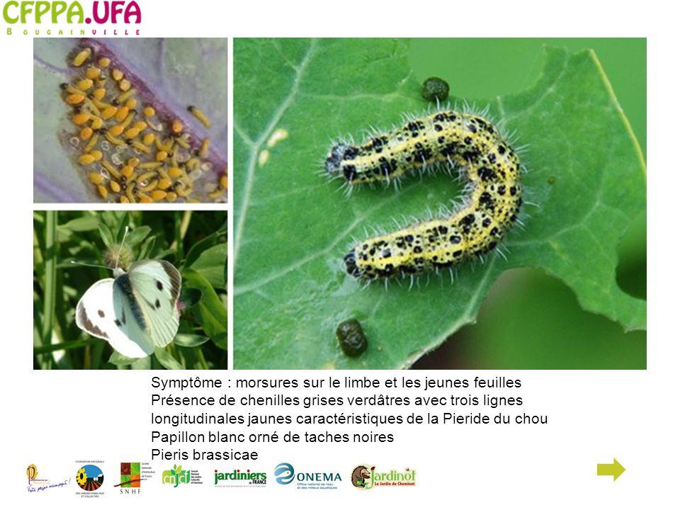 Symptôme : morsures sur le limbe et les jeunes feuilles Présence de chenilles grises verdâtres avec trois lignes longitudinales jaunes caractéristique