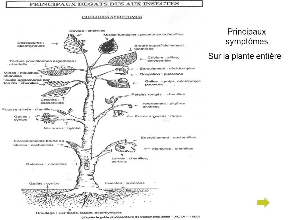 Principaux symptômes Sur la plante entière
