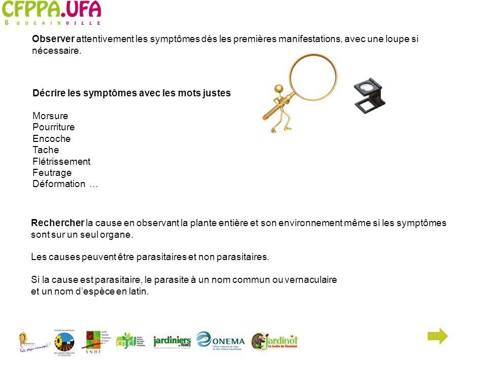Symptôme : croutes blanches Caractéristique des Cochenilles sur Hortensia