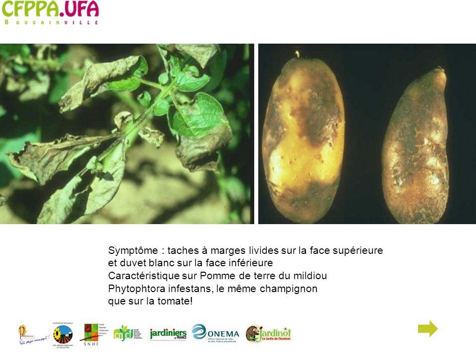 Symptôme : taches à marges livides sur la face supérieure et duvet blanc sur la face inférieure Caractéristique sur Pomme de terre du mildiou Phytopht