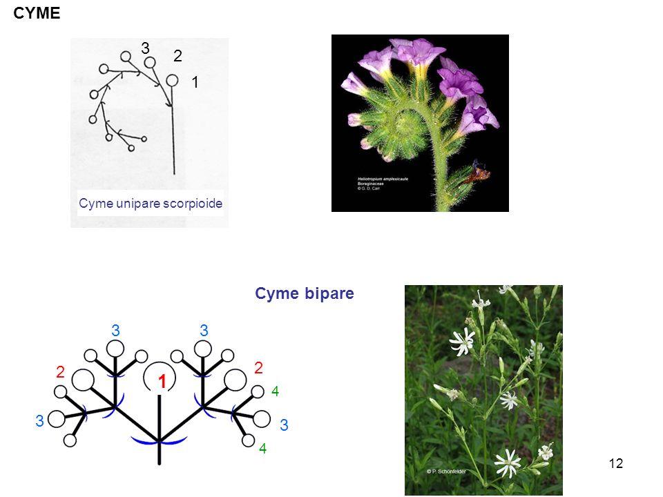 12 Cyme unipare scorpioide 1 2 3 CYME 2 2 3 3 3 3 4 4 1 Cyme bipare