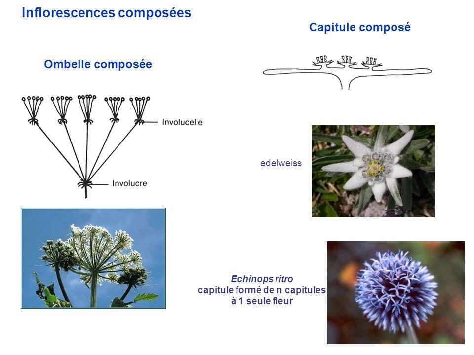 13 Ombelle composée Inflorescences composées Capitule composé edelweiss Echinops ritro capitule formé de n capitules à 1 seule fleur