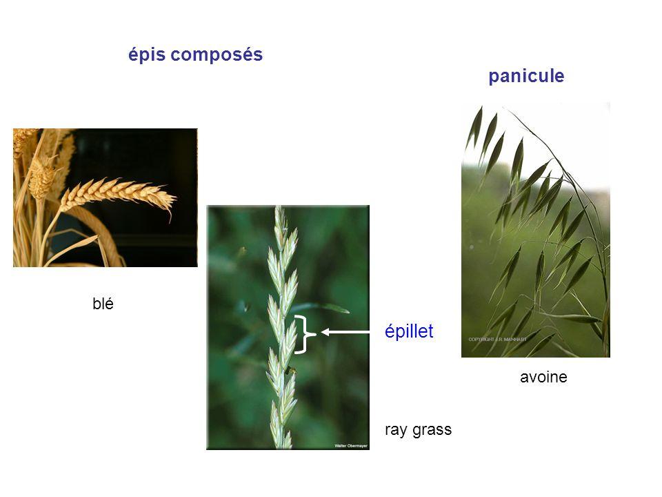 épis composés blé ray grass panicule avoine épillet