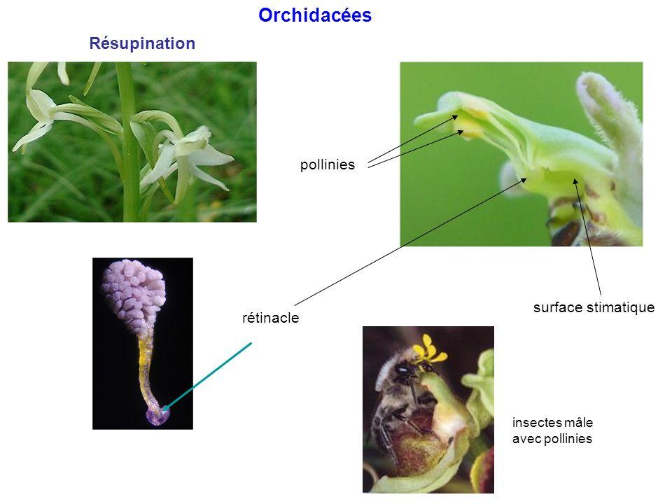 pollinies rétinacle surface stimatique Orchidacées Résupination insectes mâle avec pollinies