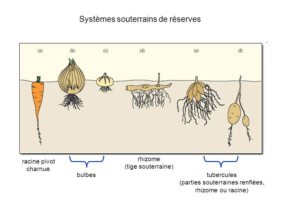 Systèmes souterrains de réserves racine pivot charnue bulbes rhizome (tige souterraine) tubercules (parties souterraines renflées, rhizome ou racine)