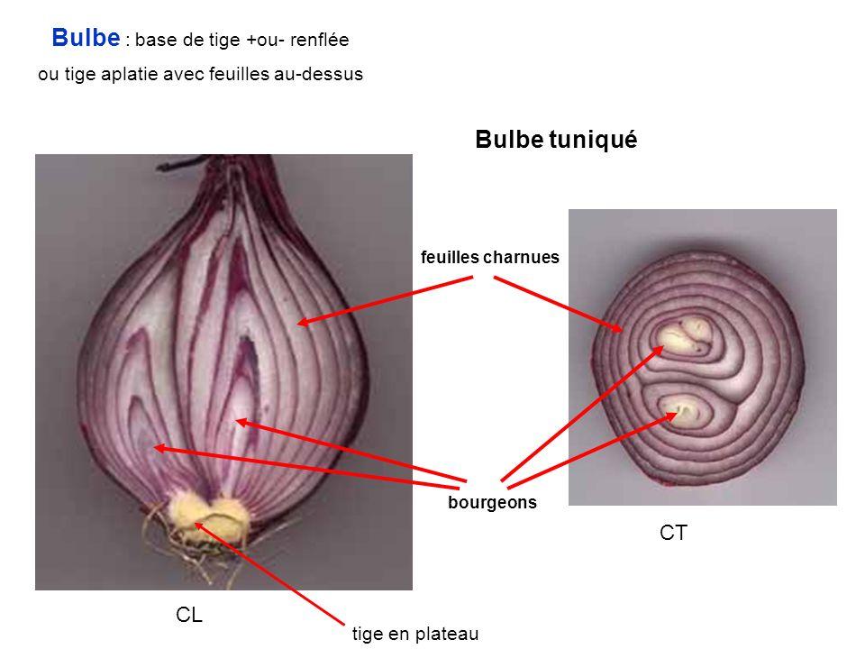 tige en plateau CT CL Bulbe tuniqué feuilles charnues bourgeons Bulbe : base de tige +ou- renflée ou tige aplatie avec feuilles au-dessus