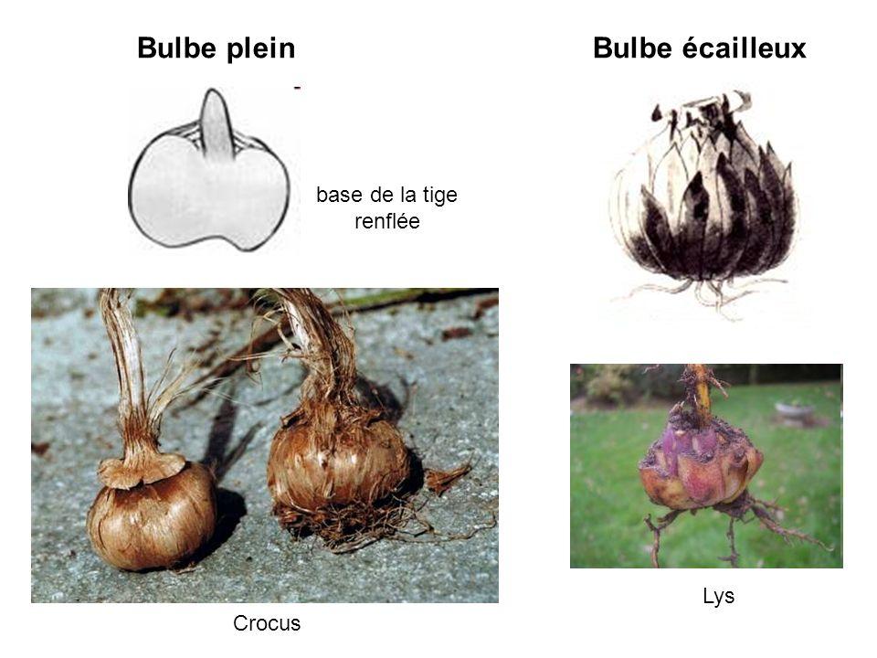 Bulbe pleinBulbe écailleux Crocus Lys base de la tige renflée
