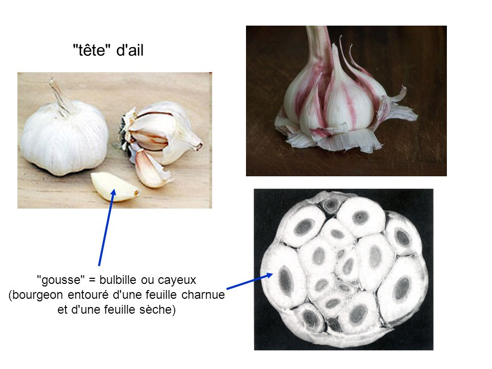 27 4 Les Poacées A ont une inflorescence réduite appelée épillet B sont bien adaptées à l enthomophilie C ont 3 sépales et 3 pétales D ont un fruit du type akène E ont des feuilles distiques