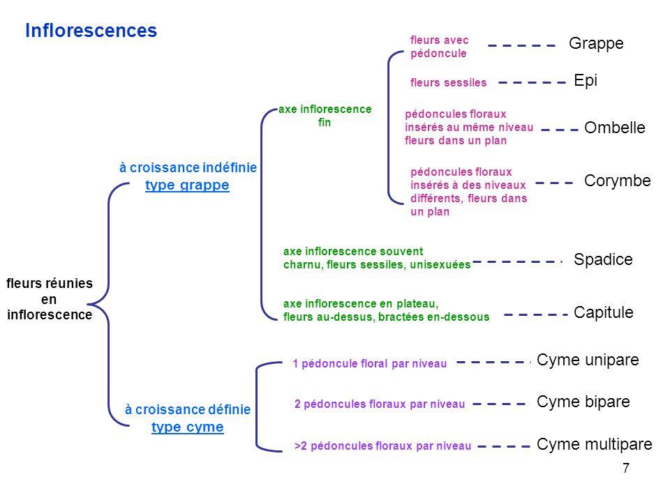 7 Inflorescences fleurs réunies en inflorescence à croissance indéfinie type grappe à croissance définie type cyme axe inflorescence fin fleurs avec p