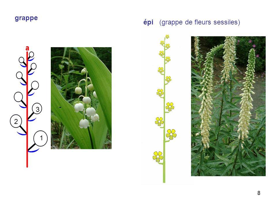 8 grappe 3 2 1 épi (grappe de fleurs sessiles)