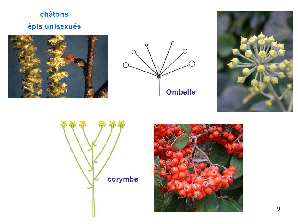 10 Spadice épi souvent charnu fleurs sessiles unisexuées spathe fréquente bractées pédoncule fleurs ligulées fleurs tubuleuses réceptacle Capitule