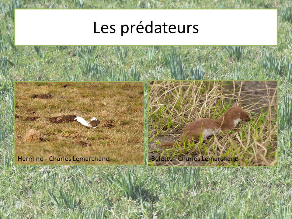 Les prédateurs Hermine - Charles LemarchandBelette - Charles Lemarchand