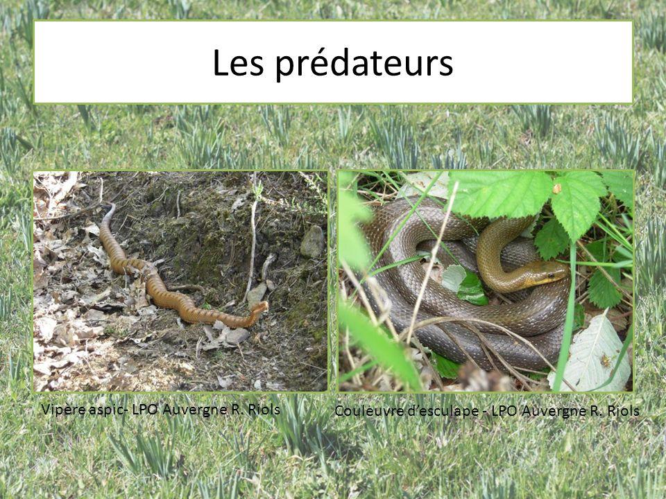 Les prédateurs Vipère aspic- LPO Auvergne R. Riols Couleuvre desculape - LPO Auvergne R. Riols