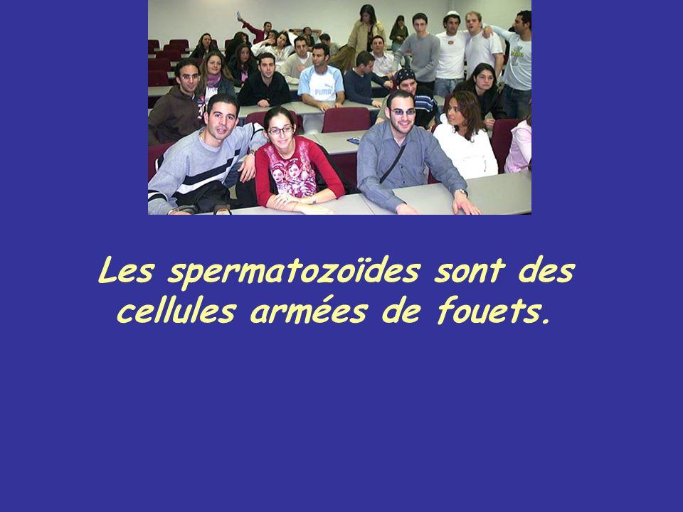 Les spermatozoïdes sont des cellules armées de fouets.