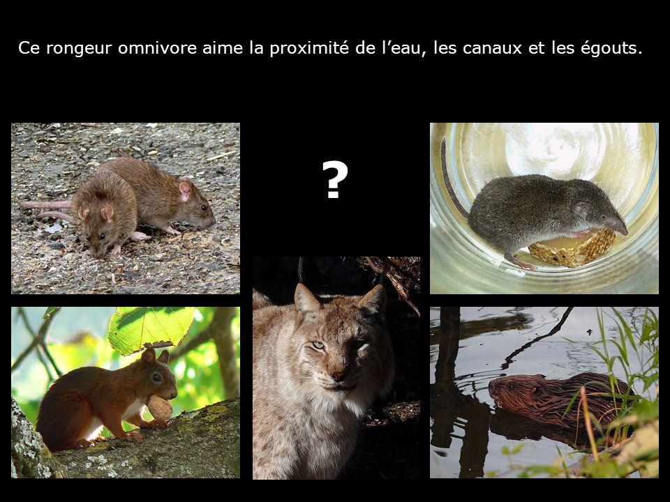 Ce rongeur omnivore aime la proximité de leau, les canaux et les égouts. ?