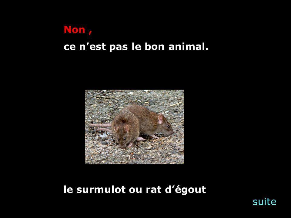 suite Non, ce nest pas le bon animal. le surmulot ou rat dégout