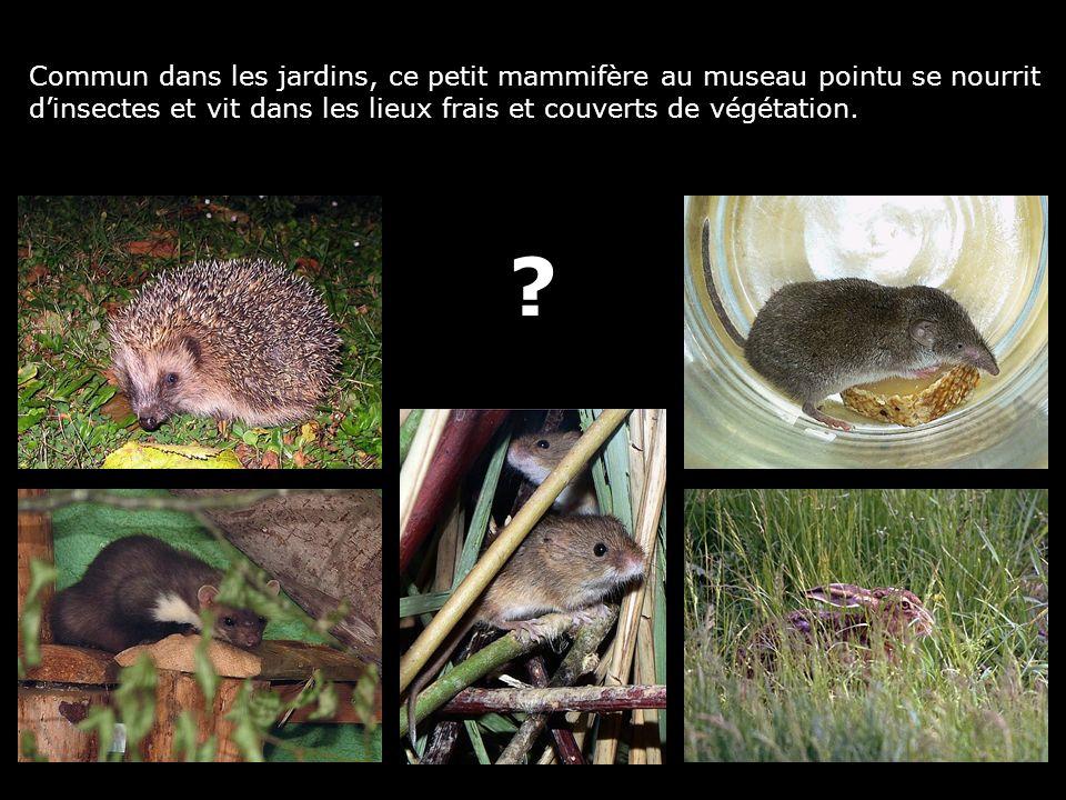 Commun dans les jardins, ce petit mammifère au museau pointu se nourrit dinsectes et vit dans les lieux frais et couverts de végétation. ?