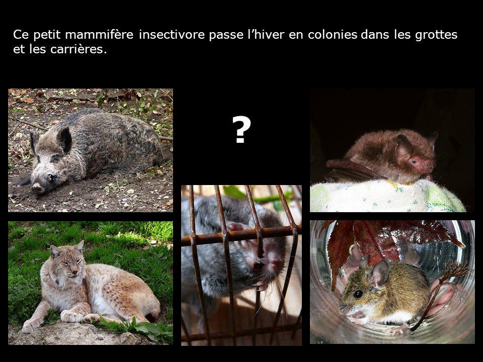 Ce petit mammifère insectivore passe lhiver en colonies dans les grottes et les carrières. ?