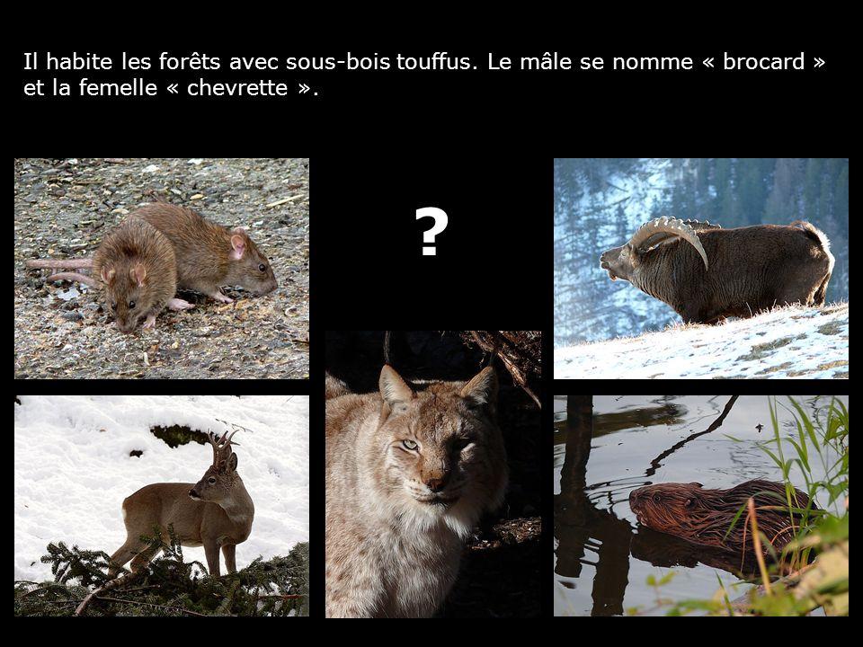 Il habite les forêts avec sous-bois touffus. Le mâle se nomme « brocard » et la femelle « chevrette ». ?