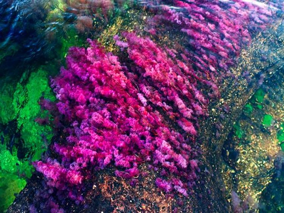 La couleur rouge est due à une plante appelée Macarenia clavigera. Lorsque le niveau d'eau est au point optimal, la mousse et les algues fleurissent a