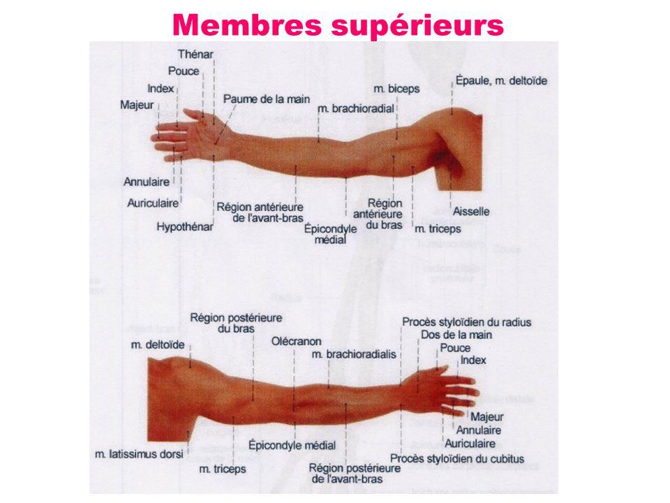 Membres supérieurs