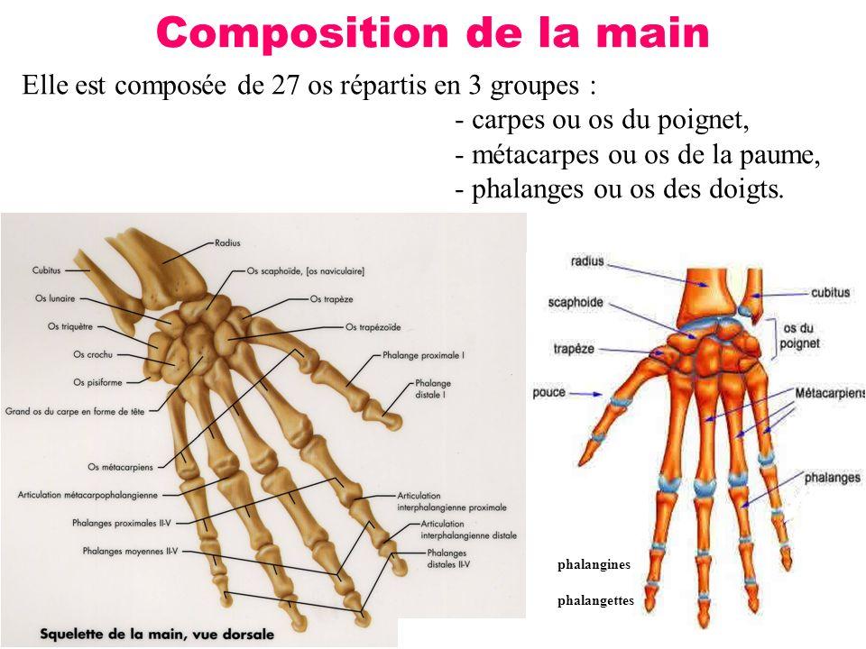 19 Composition de la main Elle est composée de 27 os répartis en 3 groupes : - carpes ou os du poignet, - métacarpes ou os de la paume, - phalanges ou