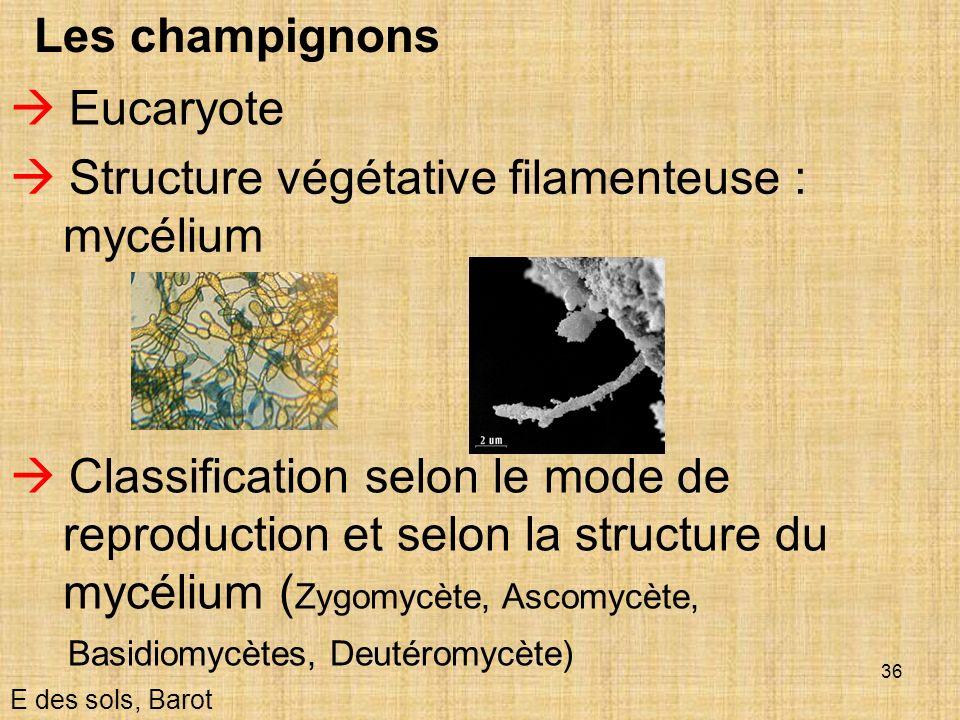 36 Les champignons Structure végétative filamenteuse : mycélium E des sols, Barot Eucaryote Classification selon le mode de reproduction et selon la s