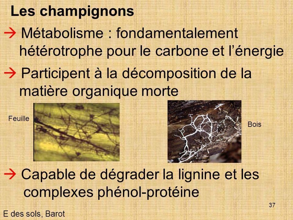 37 Les champignons Participent à la décomposition de la matière organique morte E des sols, Barot Métabolisme : fondamentalement hétérotrophe pour le