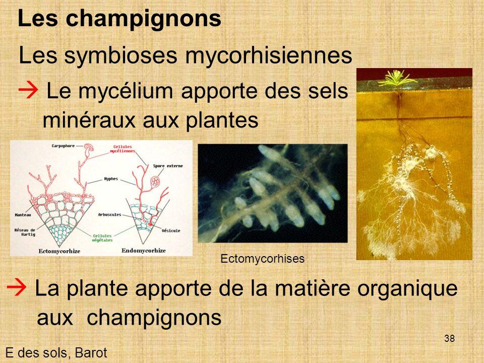 38 Les champignons Le mycélium apporte des sels minéraux aux plantes E des sols, Barot Les symbioses mycorhisiennes La plante apporte de la matière or