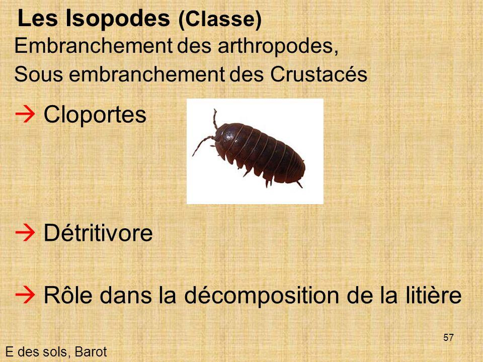 57 Les Isopodes (Classe) E des sols, Barot Embranchement des arthropodes, Sous embranchement des Crustacés Détritivore Rôle dans la décomposition de l