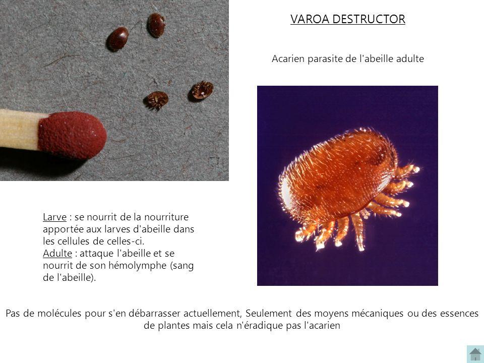 VAROA DESTRUCTOR Acarien parasite de l'abeille adulte Larve : se nourrit de la nourriture apportée aux larves d'abeille dans les cellules de celles-ci