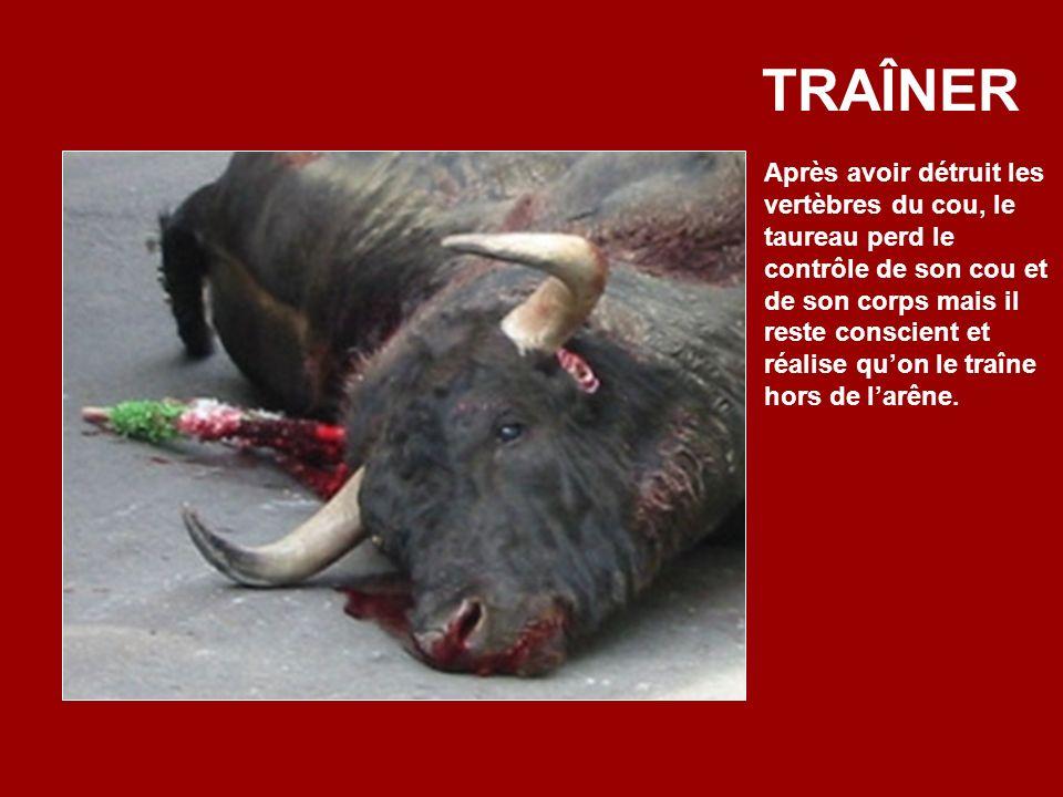 Et plus loin… Maintenant on essaie de tuer le taureau avecun puntilla (poignard) de 10cm. On tranche la moëlle épinière, mais cela le paralyse seuleme
