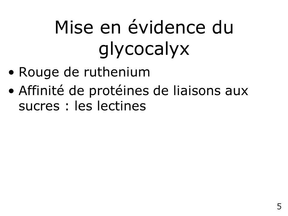 4 Fig 10-44 Cell coat (=glycocalyx) Zone de la surface cellulaire riche en sucres Lymphocyte (rouge de ruthenium)