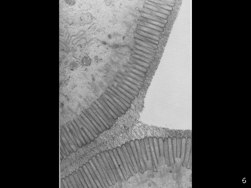 5 Mise en évidence du glycocalyx Rouge de ruthenium Affinité de protéines de liaisons aux sucres : les lectines
