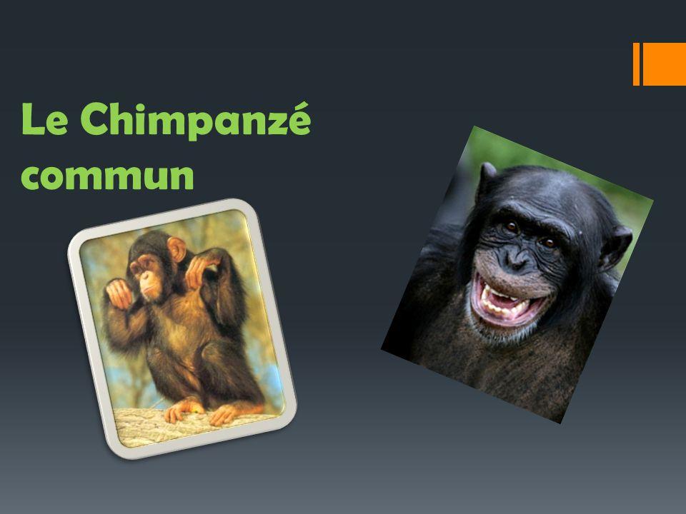Les caracthéristiques physiques: Les Chimpanzés communs ont le corps recouvert de poils noirs sauf sur le visage, les oreilles, la paume des mains et la plante des pieds.