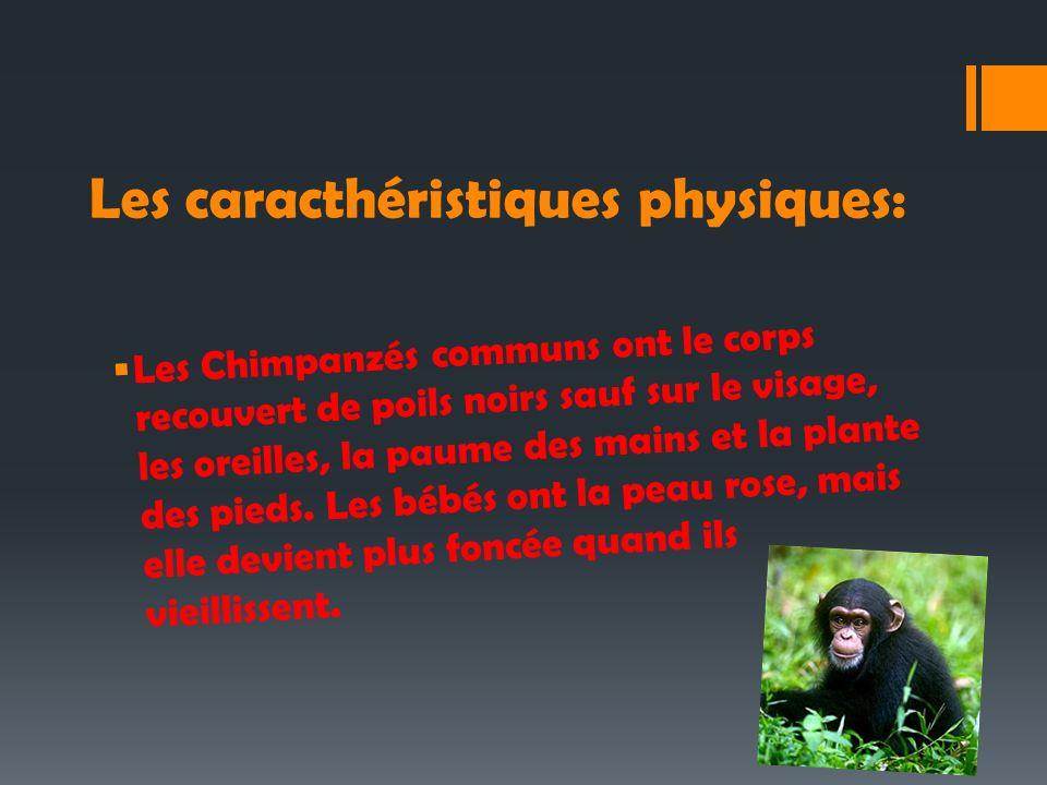 Les caracthéristiques physiques: Les Chimpanzés communs ont le corps recouvert de poils noirs sauf sur le visage, les oreilles, la paume des mains et