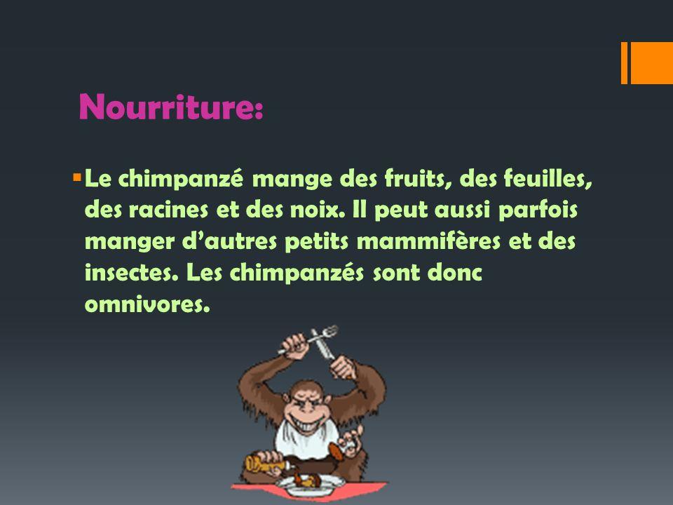 Nourriture: Le chimpanzé mange des fruits, des feuilles, des racines et des noix. Il peut aussi parfois manger dautres petits mammifères et des insect