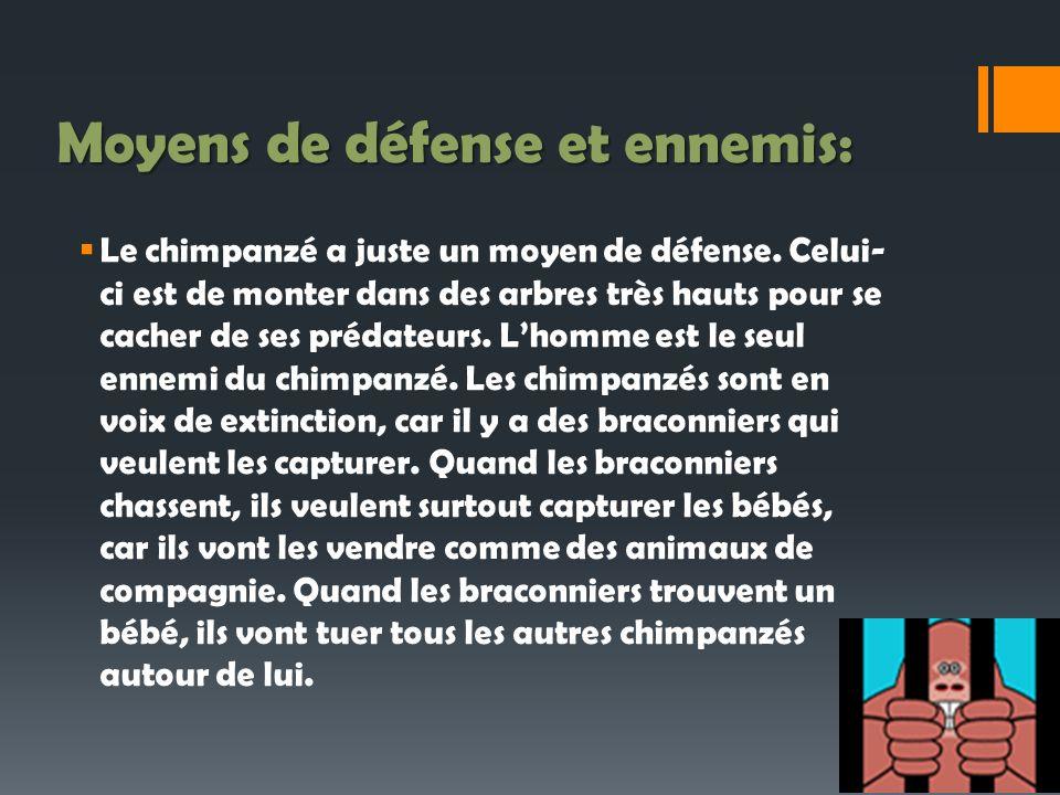 Moyens de défense et ennemis: Le chimpanzé a juste un moyen de défense. Celui- ci est de monter dans des arbres très hauts pour se cacher de ses préda