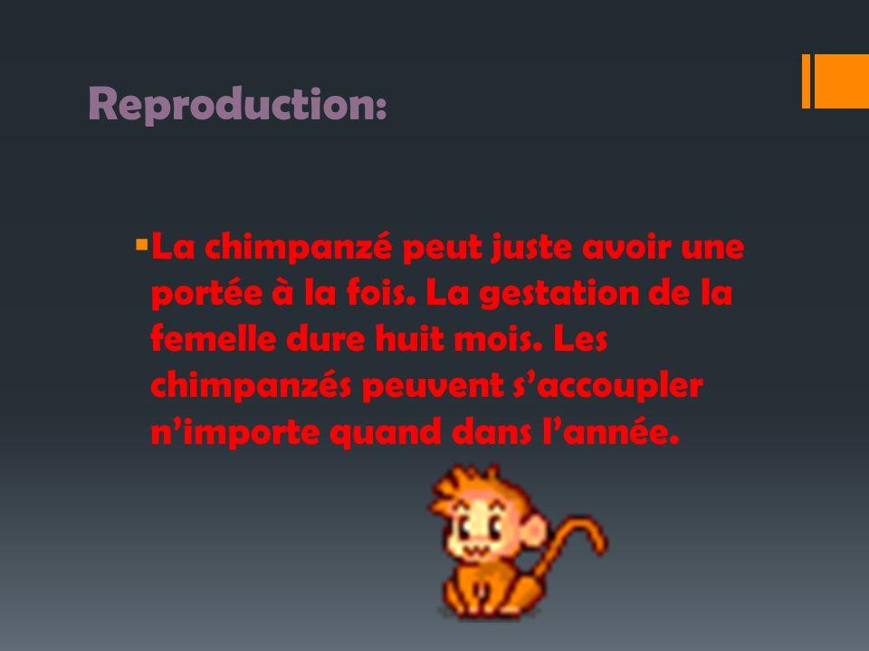 Reproduction: La chimpanzé peut juste avoir une portée à la fois. La gestation de la femelle dure huit mois. Les chimpanzés peuvent saccoupler nimport