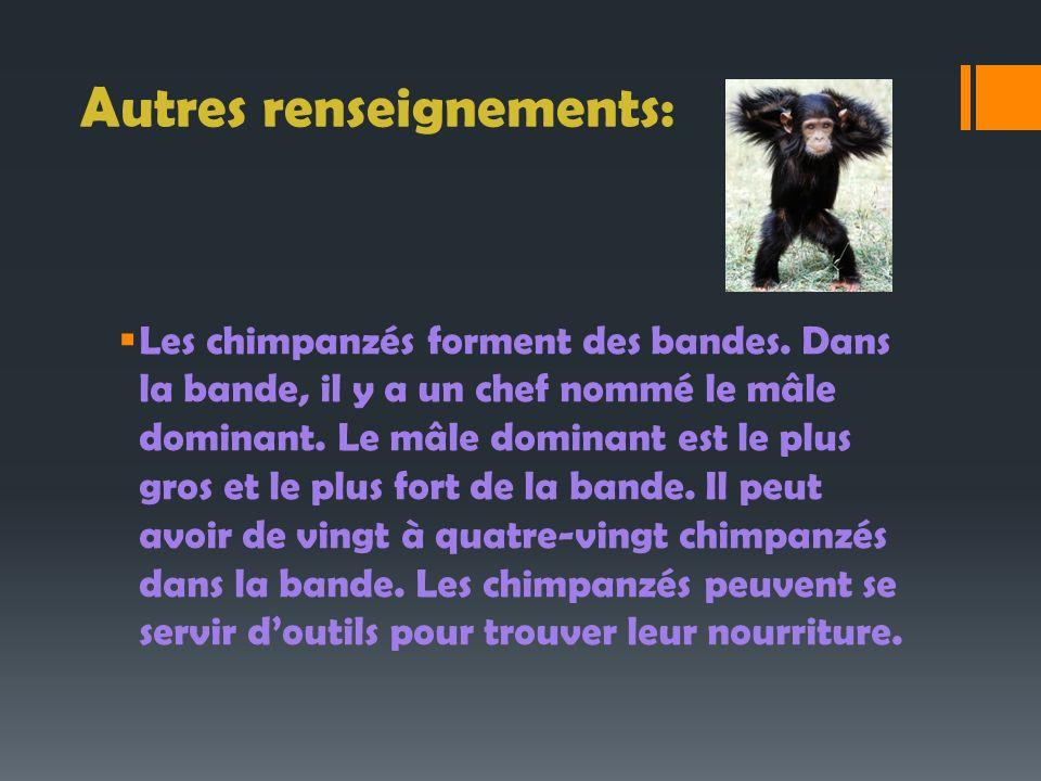 Autres renseignements: Les chimpanzés forment des bandes. Dans la bande, il y a un chef nommé le mâle dominant. Le mâle dominant est le plus gros et l