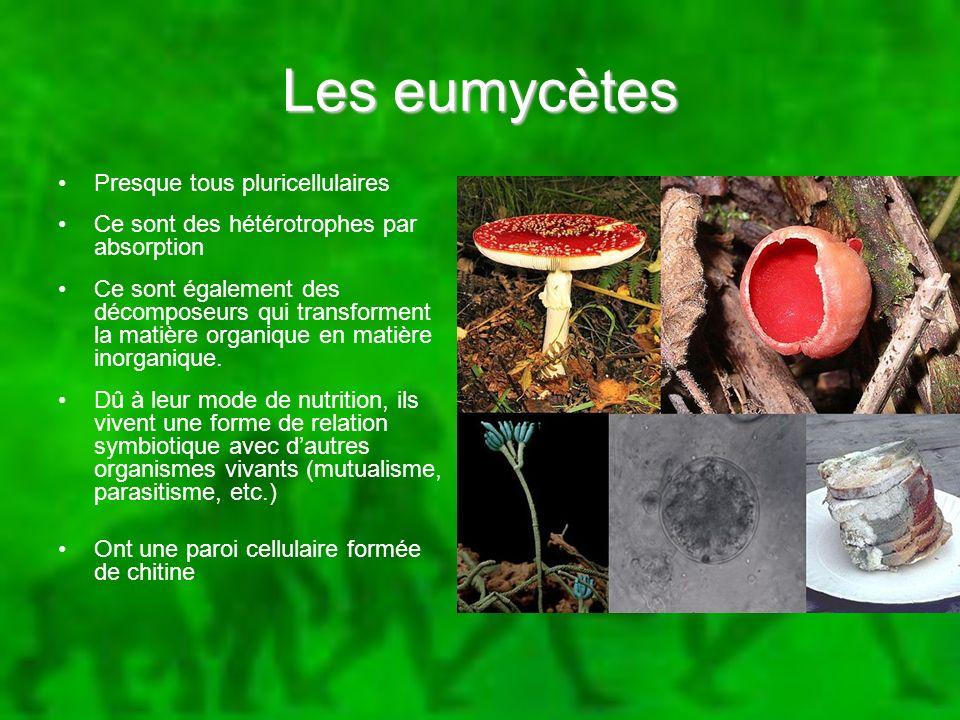 Les eumycètes Presque tous pluricellulaires Ce sont des hétérotrophes par absorption Ce sont également des décomposeurs qui transforment la matière or