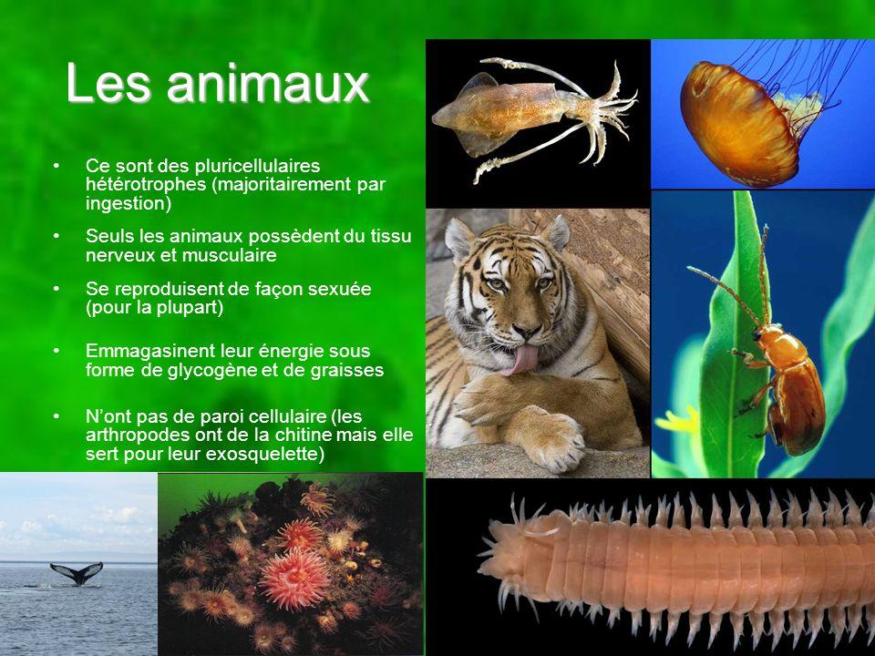 Les animaux Ce sont des pluricellulaires hétérotrophes (majoritairement par ingestion) Seuls les animaux possèdent du tissu nerveux et musculaire Se r