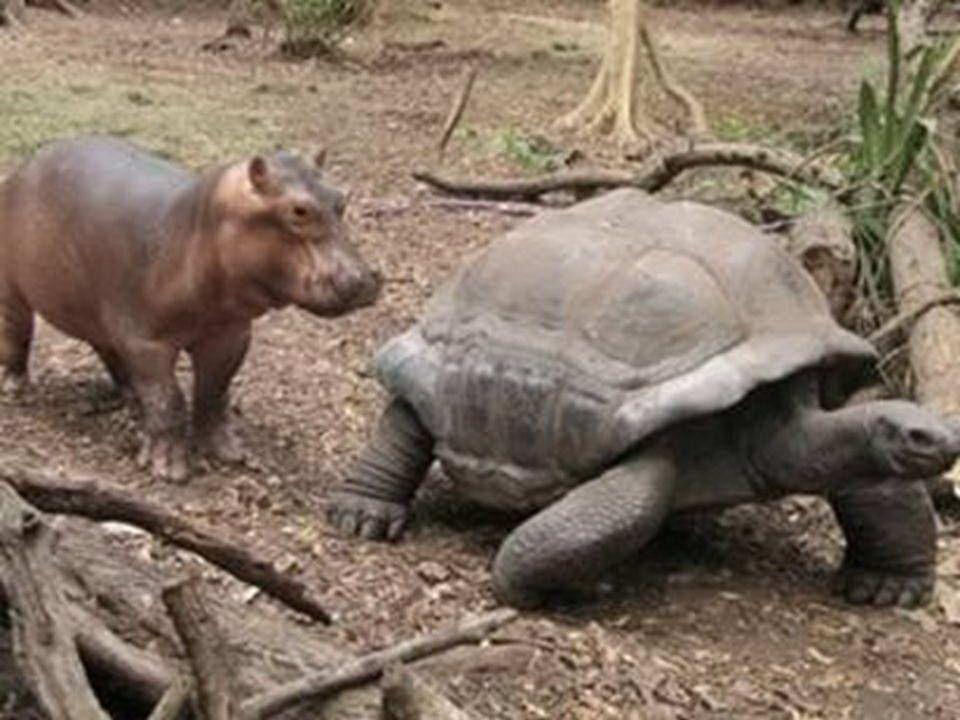 Nairobi: un bébé hippopotame de moins dun an (300 kg!), Owen, survivant au tsunami du 25 décembre sur la côte du Kenya sest lié dune solide amitié ave