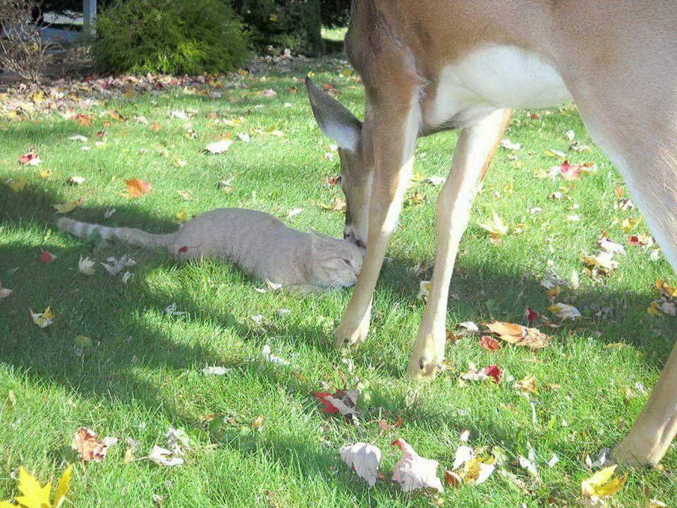 Une biche vient tous les matins rendre visite à un chat. Ce chat de Harrisburg, Pennsylvania, USA., a la chance davoir cette amie très spéciale. La pr
