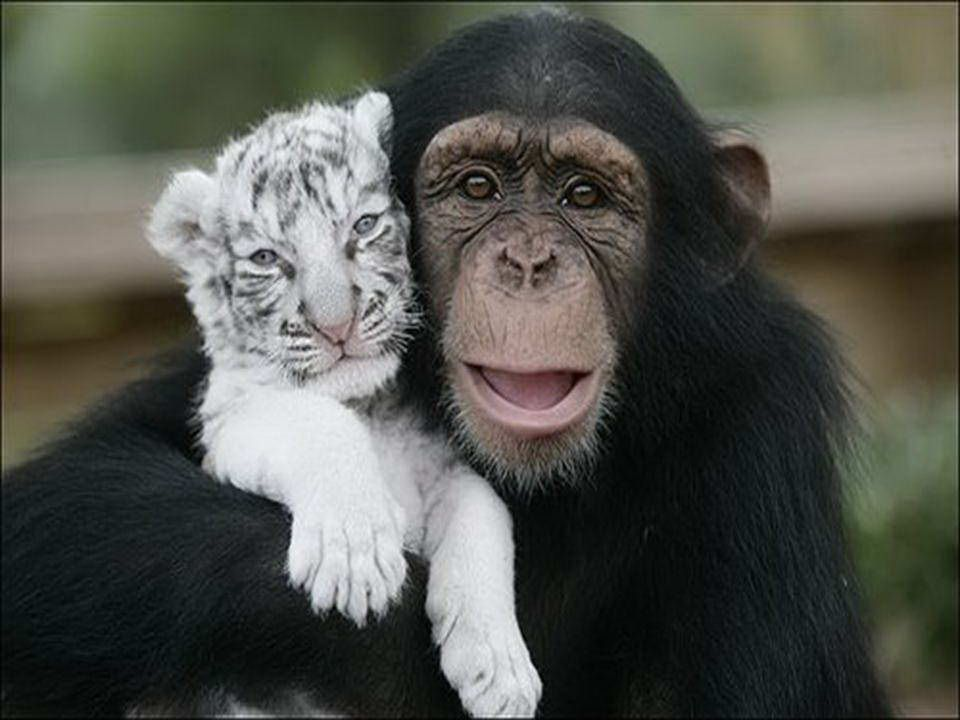 Anjan est le chimpanzé qui a sauvé deux tigres blancs séparés de leur mère par le typhon Hanna. Non seulement il joue avec eux, mais il aide a donner